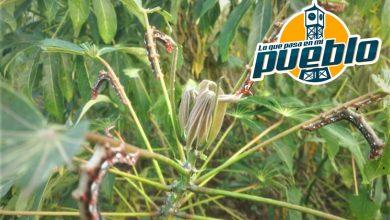 Photo of Agricultura ofrece asesoramiento técnico a productores de yuca; buscan evitar daños por insecto Erinnyis Ello