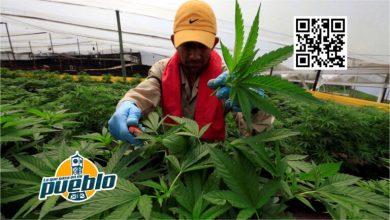 Photo of Colombia frena una propuesta legislativa para legalizar la marihuana
