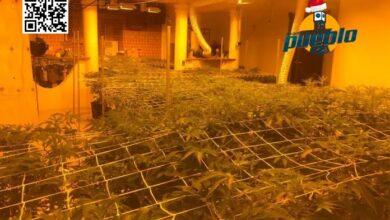 Photo of Desmantelan 3 invernaderos para el cultivo de marihuana en Santo Domingo Este