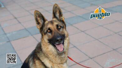 Photo of Una perra policía retirada llora al reencontrarse con su adiestrador después de un año