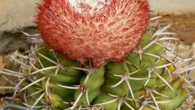 Photo of Melocactus, especie endémica de la isla en Peligro Crítico Extinción
