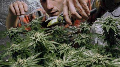 Photo of Acuerdan legalizar venta de marihuana recreativa en Nueva York