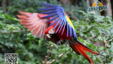 Photo of Liberan diez guacamayas rojas, ave en peligro de extinción en Honduras