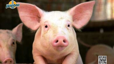 Photo of Descubren que cerdos, ratones y ratas pueden respirar a través de sus intestinos