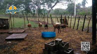 Photo of Cuatreros descuartizan 15 ovejos en Guayabo Dulce de Hato Mayor