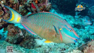Photo of Poder Ejecutivo establece veda de peces loros, pepinos y anguilas