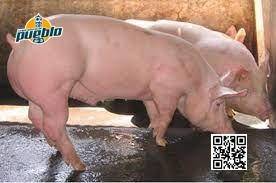 Photo of Director provincial de Salud de Elías Piña llama a no consumir carne de cerdo y prohíbe comprarla en Haití